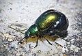 Green Dock Beetle - Gastrophysa viridula (17347381954).jpg