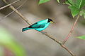 Green Honeycreeper male with flash (4090157030).jpg