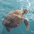 Green Turtle-IMG 1761.jpg