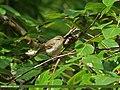 Greenish Warbler (Phylloscopus trochiloides) (21908997758).jpg