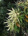 Grevillea baileyana - Brown Silky Oak (4054856845).jpg