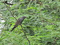 Grey- bellied cuckoo with caterpillar in beak in Nagaram, Hyderabad.JPG
