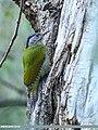 Grey-headed Woodpecker (Picus canus) (46946898994).jpg