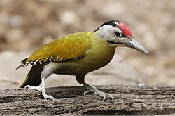 Grey-headed Woodpecker 2.jpg
