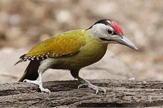 Grey-headed woodpecker - A grey-headed woodpecker in Kaeng Krachan National Park, Thailand