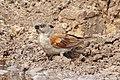 Grey-headed sparrow (Passer griseus griseus).jpg