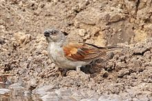 Grey-headed sparrow (Passer griseus griseus).jpg