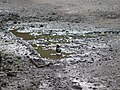 Grey-winged Blackbird - Turdus boulboul - P1040565.jpg