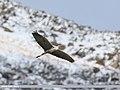 Grey Heron (Ardea cinerea) (34159357881).jpg