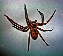 Holconia immanis - Wikipedia