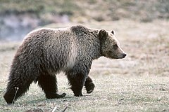 Grizzly bear glacier national park 3.jpg