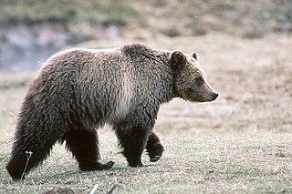PREDATOR - The Grizzly Bear 320px-Grizzly_bear_glacier_national_park_3