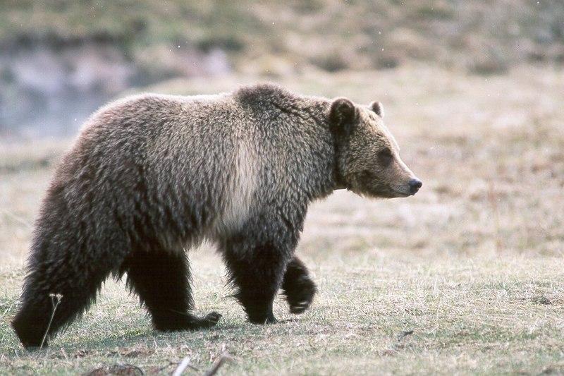 Grizzly bear glacier national park 3.jpg