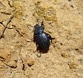Ground Beetle species. Carabidae - Flickr - gailhampshire (1).jpg