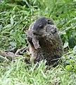 Groundhog (46936500495).jpg