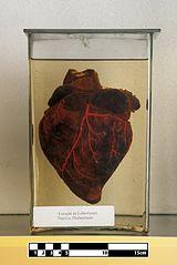 Guara wolf heart (Chrysocyon brachyurus).jpg