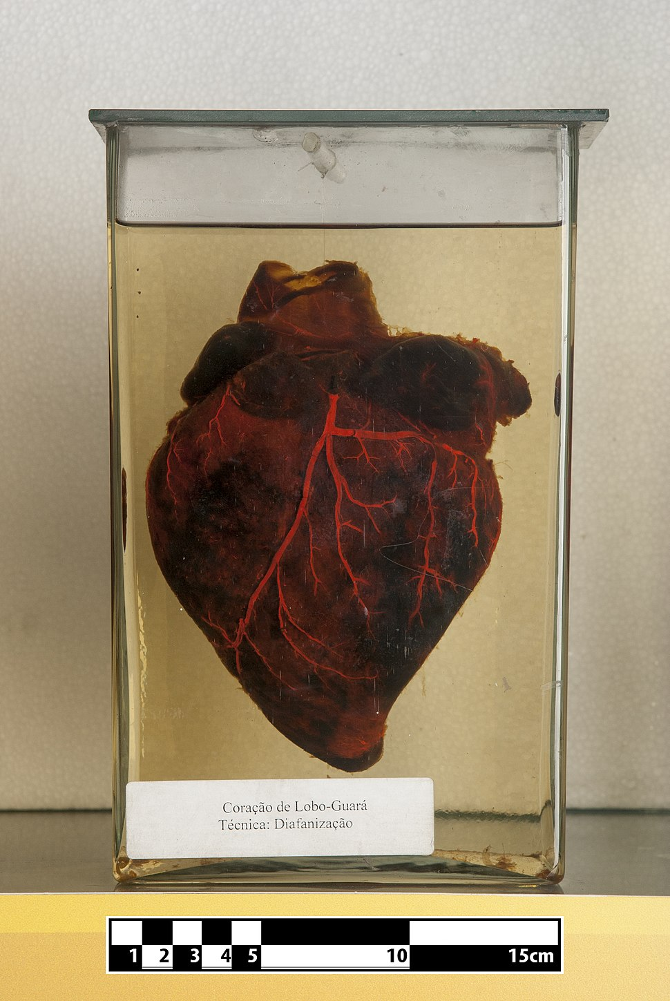 Guara wolf heart (Chrysocyon brachyurus)