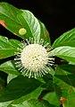 Guzikowiec zachodni. (Cephalanthus occidentalis) 03.jpg