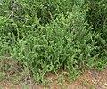 Gymnosporia polyacantha subsp vaccinifolia, habitus, Roodeplaat NR.jpg