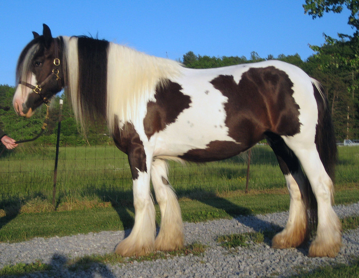 Irish Horse Breeds
