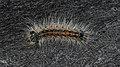 Gypsy Moth (Lymantria dispar) Caterpillar - Kitchener, Ontario.jpg