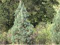 H20130318-6912—Pinus sabiniana—Mitchell Canyon (8575220521).jpg
