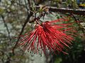 H20140423-1809—Calliandra californica (13988658675).jpg