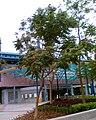 HK Spathodea Tree.jpg