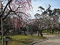 Hakusan Park Prunus mume1.JPG