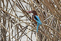 Halcyon smyrnensis - White-throated kingfisher 01.jpg