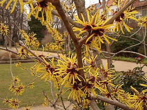 Hamamelis Deutsch: Zaubernuß English: Witch-ha...