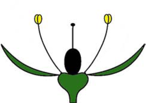 Perianth - Image: Haplochlamyde