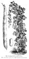 Haricot mangetout de Saint-Fiacre Vilmorin-Andrieux 1904.png