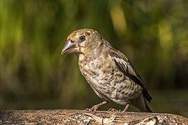 Hawfinch (Coccothraustes coccothraustes) juvenile 2.jpg