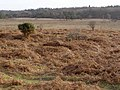 Heathland east of Wooton Bridge, New Forest - geograph.org.uk - 305320.jpg