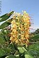 Hedychium gardnerianum (Zingiberaceae) (4805521518).jpg