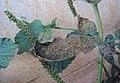 Heliotropium indicum 10.JPG