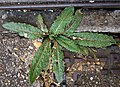 Helminthotheca echioides basal rosette of leaves.jpg