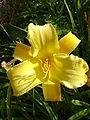 Hemerocallis Lemon Lyric1UME.jpg