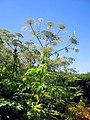 Heracleum mantegazzianum - Berce du Caucase 1.JPG