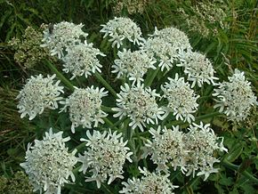 Description de l'image  Fichier:Heracleum_sphondylium1.jpg .