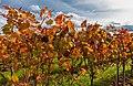 Herbstlaub im WeinbergIMG 3616.jpg