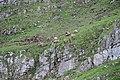 Herd of ibex in Sixt Fer-à-Cheval - panoramio.jpg