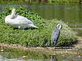 Heron and swan (both preening) (14357373196).jpg