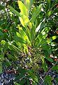 Heteromeles arbutifolia kz1.jpg