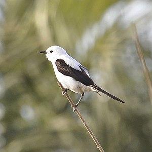 Black-and-white monjita - A male in Rocha, Uruguay