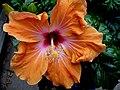Hibiscus - panoramio (4).jpg