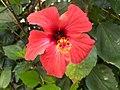 Hibiscus - panoramio - aannaque.jpg