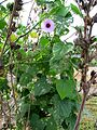 Hibiscus furcellatus (5113280636).jpg
