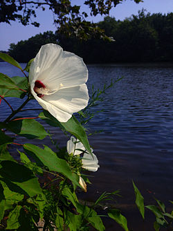 Hibiscus moscheutos - Crimsoneyed Rosemallow.jpg